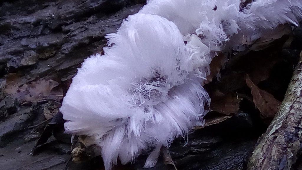 dettaglio di un fiore di ghiaccio o frost flower